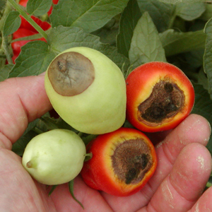 Carencia nutricional tomate-calcio-blosom end rot-BER