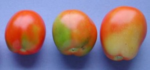 Carencia nutricional tomate-potasio-blotchy ripening