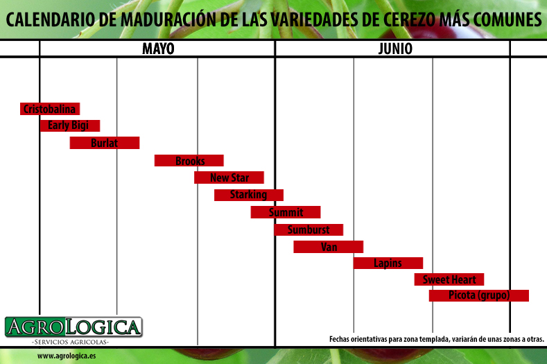 Calendario maduracion cerezo